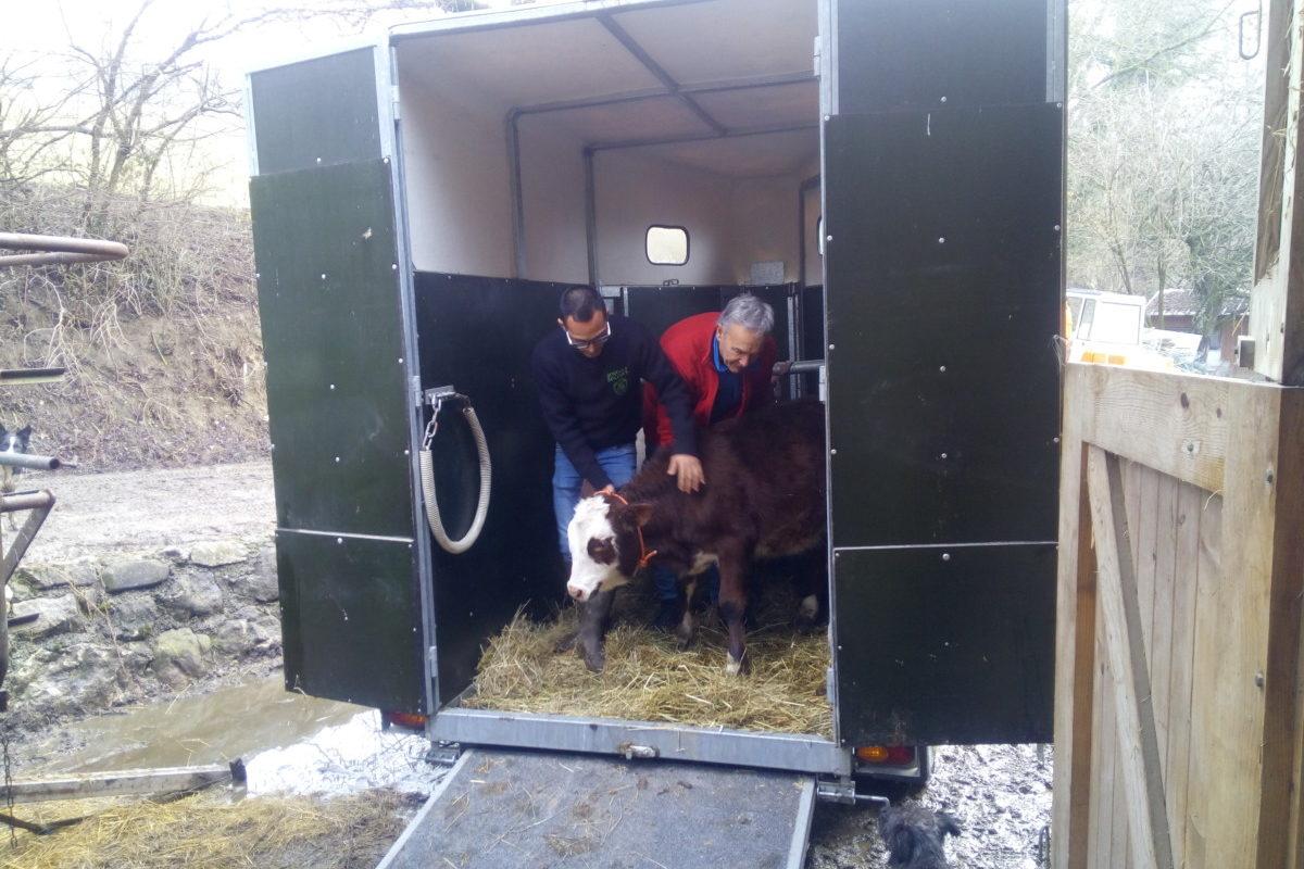 veaux sauvés de l'abattoir - Animal Cross