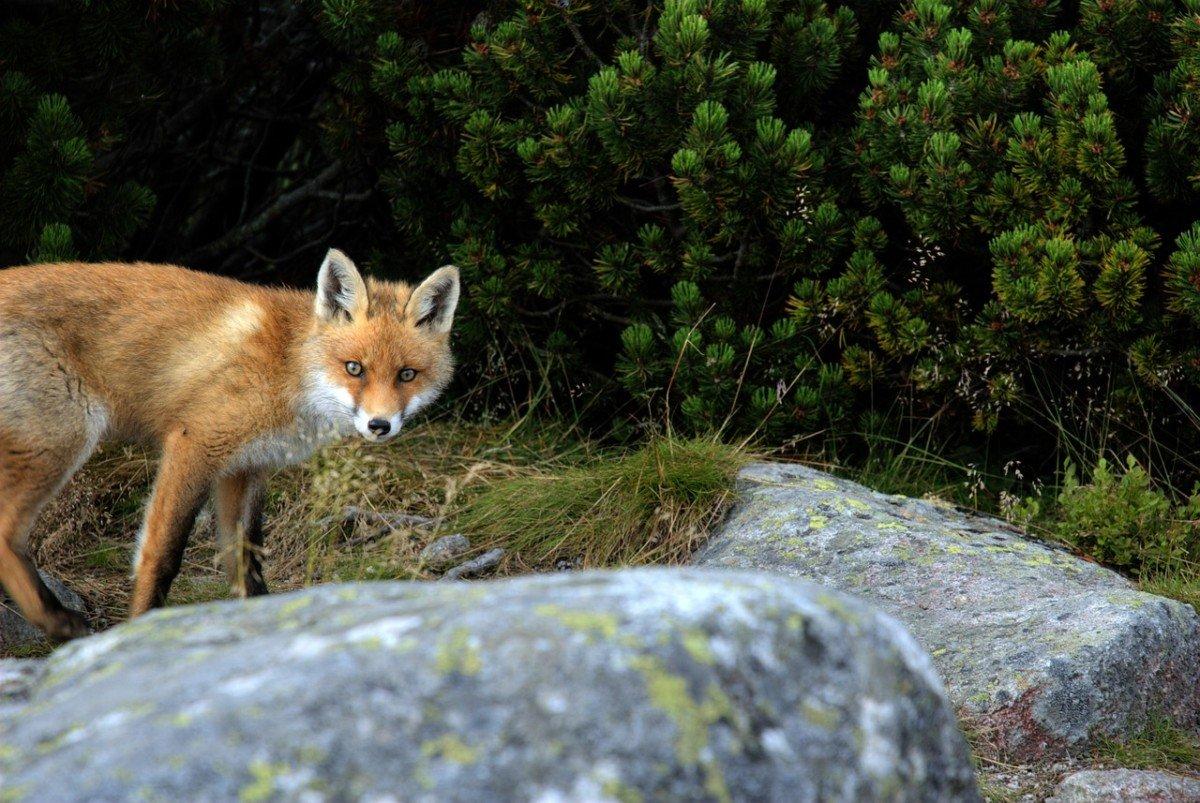Le renard: animal nuisible ou précieux ami des agriculteurs et de la nature?