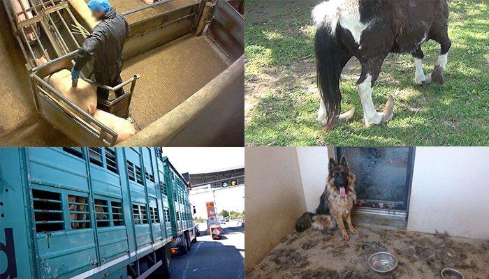 Le principe de sanctions immédiates en cas de maltraitance animale menacé de disparaitre lors du vote en 2nde lecture à l'Assemblée Nationale à partir de jeudi – le 15 janvier 2019