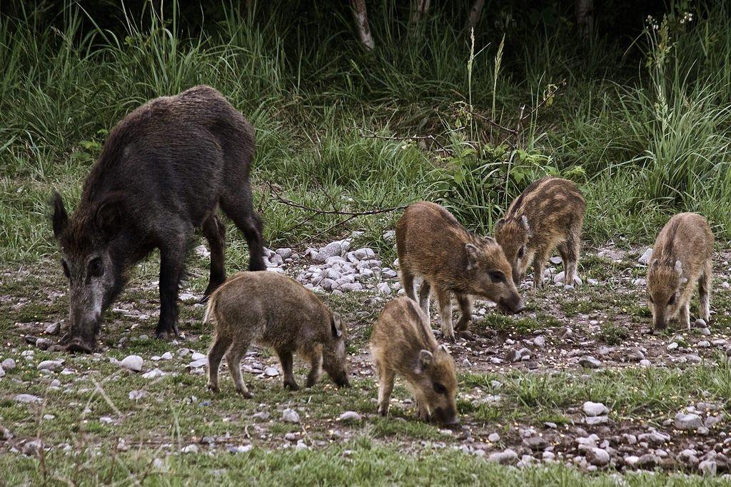 """L'agrainage ou comment les chasseurs entretiennent leur """"capital"""" gibier"""