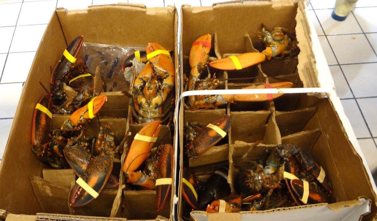 Des homards qui agonisent dans les cartons et sur les étales : demandons à Auchan la fin de cette pratique