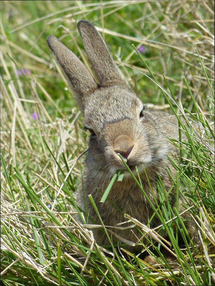 Le lapin de Garenne, une espèce «nuisible» menacée de disparition