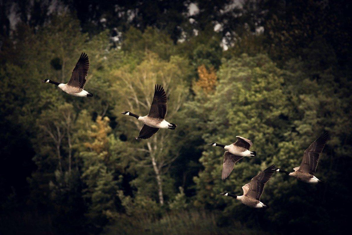 La Bernache du Canada, une oie majestueuse pourtant classée nuisible